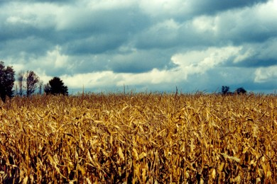 Corn_Field_in_Autum_by_Nystagmuz_stock